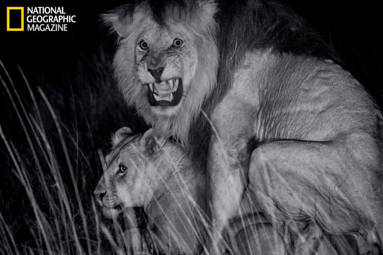 <p>C-Boy mates with a Kibumbu pride female. After fathering cubs, a resident male can be displaced by other males. His young offspring will then be killed by the new males or left to die.</p>