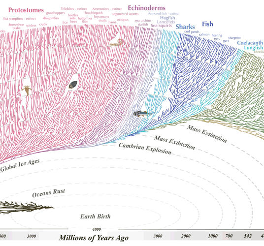 <p>Toward the middle of the graphic, we encounter protostomes, which thrived during the Cambrian Explosion.</p>