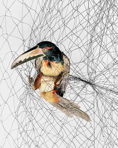 <p>This image may disturb you, but rest assured, the bird wasn't harmed in the process. In fact, the net is a relatively humane way for ornithologists to gather the data they need for research, <a href=&quot;http://www.fastcodesign.com/1670470/audubon-20-cruelty-free-portraits-of-amazing-birds#1&quot; target=&quot;_self&quot;>Kelsey Campbell-Dollaghan writes</a>; back in John James Audubon's day, ornithologists resorted to killing the subject of their studies. The photographer <a href=&quot;http://www.toddforsgren.com/&quot; target=&quot;_blank&quot;>Todd R. Forsgren</a> sets the birds against a white background, against which they seem to display human emotions like fear and anger.</p>