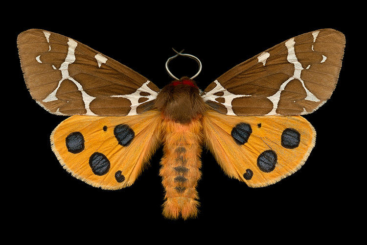 <p>For many, moths are pesky intruders who have a nasty taste for your clothes.</p>
