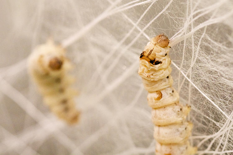 <p>Silkworms have been used for millennia to give us our beloved silk. That process has always required harvesting--boiling cocoons to generate silk filament. MIT has discovered how to manipulate the worms to shape silk for us natively.</p>