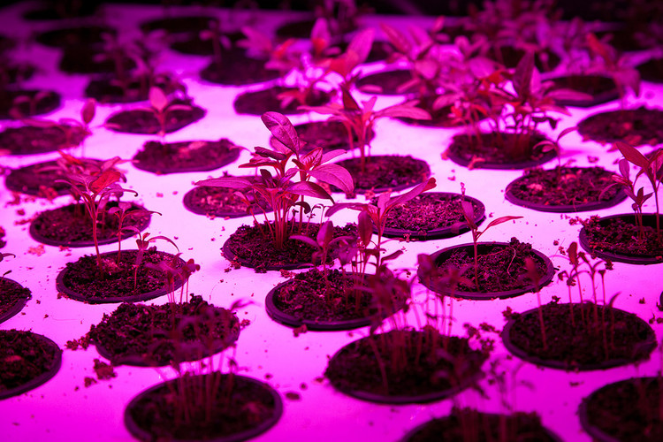 <p>Amaranth under grow lights.</p>