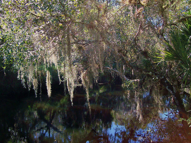 <p>The leaves of Spanish moss absorb water and slow water loss because they are covered in dense scales. Photo by Flickr user <a href=&quot;http://www.flickr.com/photos/linsuehoo/4935763875/&quot; target=&quot;_blank&quot;>Linda Hoover</a>.</p>