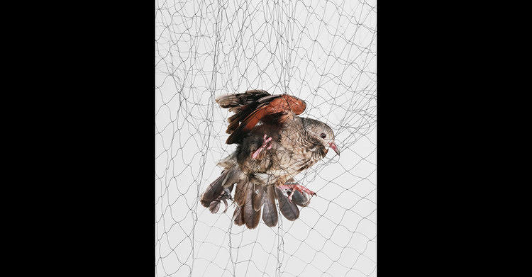 <p>Captured on film in the moment they're snagged by biologists for study (they let them go unharmed, don't worry), <a href=&quot;http://www.fastcoexist.com/1680259/be-mesmerized-by-these-photos-of-birds-caught-in-nets&quot; target=&quot;_self&quot;>these photos of trapped birds are an oddly compelling illustration of the intersection of nature and science.</a></p>