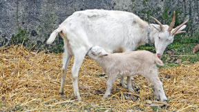 These New Transgenic Goats Are Filled With Human Breast Milk