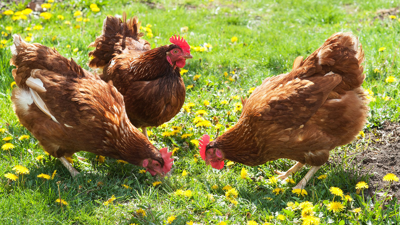 Fancy food scrap fed chickens create endless farm to table loop co
