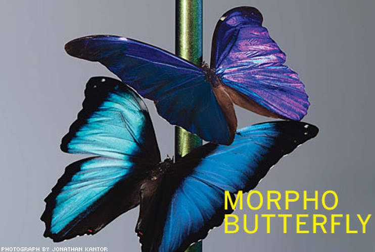 <p> A butterfly wing's colorless, translucent membrane is covered with extremely fine scales (each just 100 micrometers long). When light waves reflect off scales and combine with other light, the result is iridescence.  </p>
