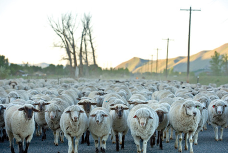 <p> Sheep from the Lava Lake Ranch, where organic sheep wool was sourced for Miendersma's commission, are herded through the town of Hailey, Idaho. </p>