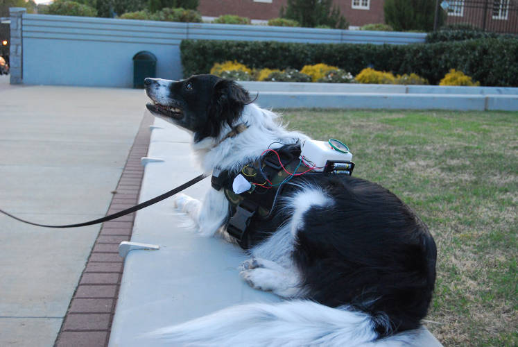 <p>One sensor the FIDO team is testing involves a proximity sensor the dog can activate by waving its nose close to the sensor. The researchers are working on ways to prevent false triggers that could be activated by objects the dogs could encounter in the environment.</p>
