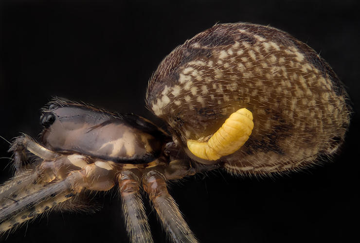 <p>Pityohyphantes phrygianus (sheet weaver spider) with a parasitic wasp larva on the abdomen</p>  <p>Mr. Geir Drange<br /> 16th Place<br /> Asker, Norway<br /> Reflected Light, Focus Stacking<br /> 5X</p>