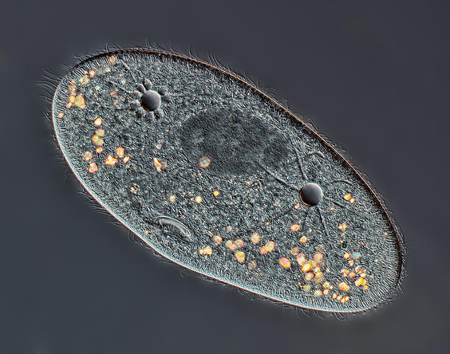 <p>Paramecium sp. showing the nucleus, mouth and water expulsion vacuoles</p>  <p>Mr. Rogelio Moreno Gill<br /> 4th Place<br /> Panama City, Panamá<br /> Differential Interference Contrast<br /> 40X</p>