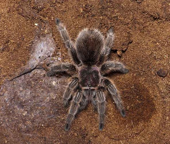 <p>The venom of the Chilean rose tarantula contains a protein that seems to regulate heartbeat; some studies indicate it also might reduce pain and possibly be useful against muscular dystrophy.</p>