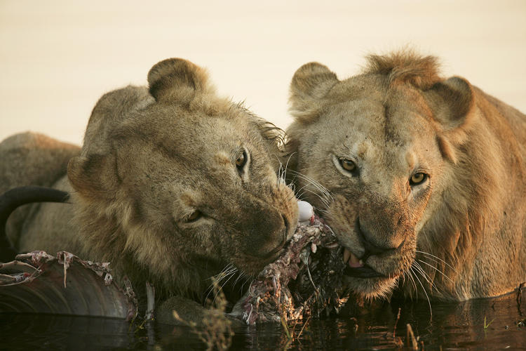 <p>Two young nomads fight over a kill they made in the water in the Okavango Delta in Botswana.</p>