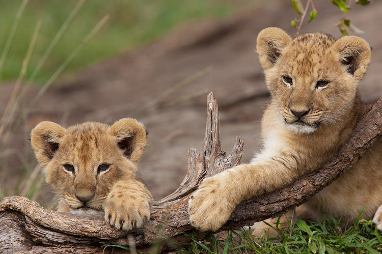 <p>Two young male cubs play on a branch in the Masai Mara in Kenya.</p>