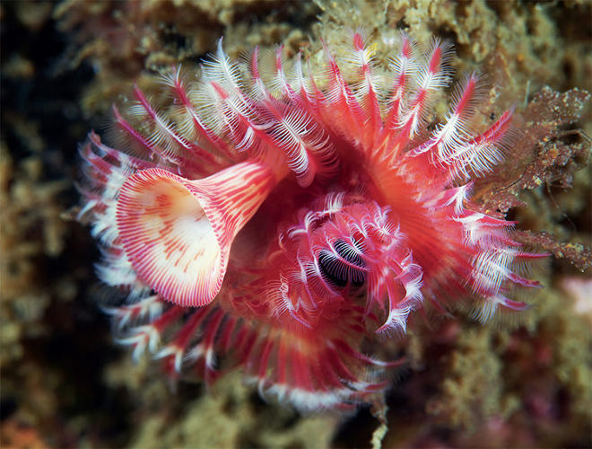 <p>An unidentified tube-dwelling polychaete that resembles a frilly bugle.</p>