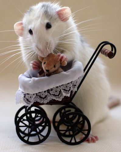 <p>If you suffer from musophobia--the fear of rats and mice--these photographs of pet rats cuddling miniature teddy bears might be a better cure than years of exposure therapy.</p>