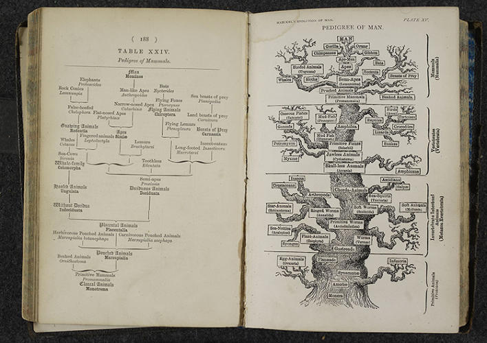 <p>Inspired by the ideas of Charles Darwin, Ernst Haeckel sought to design trees organizing all life on Earth, seen here in &quot;The Pedigree of Man&quot; and &quot;The Evolution of Man,&quot; from London, 1879.</p>