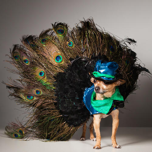 <p>Eli the Celebrity Chihuahua wears Hec-lin Couture by Roberto Negrin. Eli's doggie mom sings opera to him to get him to pose for pictures.</p>