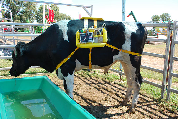 <p>Researchers put plastic backpacks on cows, then inserted tubes into their rumens (their biggest digestive tract). Then, they extracted the methane--about 300 liters a day. That's enough to run a car, or a fridge for 24 hours.</p>