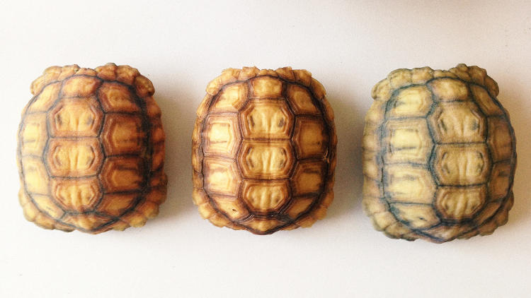 <p>These perfect copies of tortoise shells aren't replacements for old, damaged ones. They're high-tech decoys, designed to confuse one of the tortoise's worst predators.</p>