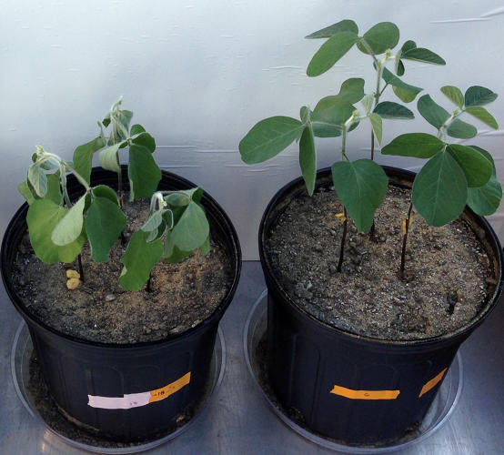 <p>Microbes can help plants grow with less water, in hotter weather, and in saltier soil.</p>