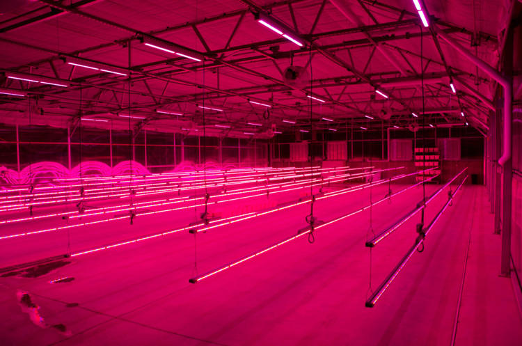<p>The researchers are testing new methods for growing hops indoors, using LED lights to optimize growing conditions.</p>