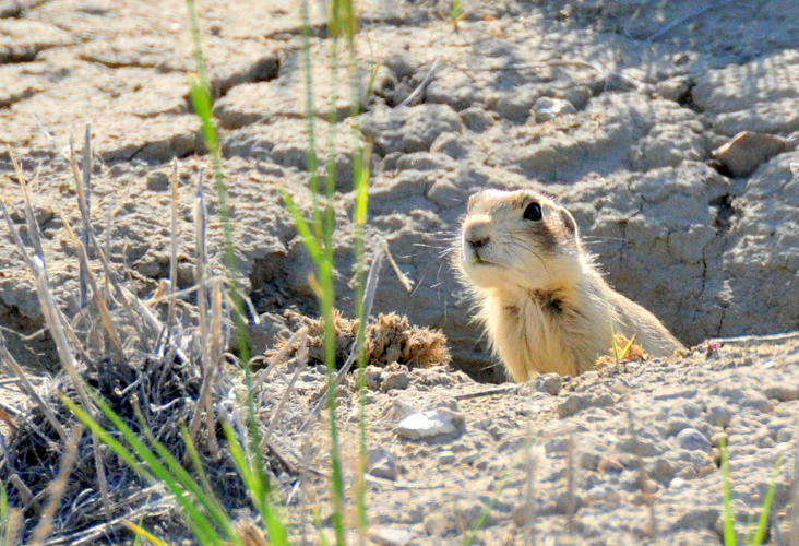 <p>The U.S. Fish and Wildlife Service hopes to start using drones to spray candy-sized snacks filled with plague vaccine across prairie dog colonies.</p>