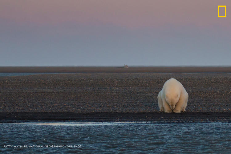 <p>A solitary bear sits on the edge of one of the Barter Islands. There is no snow, when at this time of year, there should be.</p>