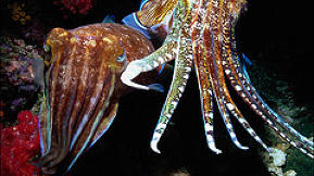 Biomimicry: Color-Changing Cuttlefish Inspire Green TV Screens