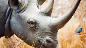 The Evolutionary Forces Behind Rhino Grazing Habits And JetBlue Customer Service