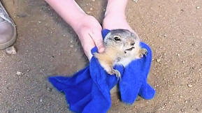 Watch Two Good Samaritans Rescue A Fat Prairie Dog