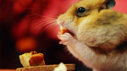 When Tiny Burritos Aren't Enough: Welcome To A Tiny Hamster Thanksgiving With Tiny Pumpkin Pies